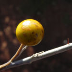 Bush Tomato Frucht gelb Solanum centrale 04