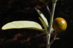 Bush Tomato Frucht gelb Solanum centrale 06
