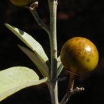 Bush Tomato Frucht gelb Solanum centrale 07