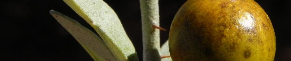 bush-tomato-frucht-gelb-solanum-centrale