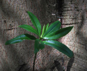 Canelo Baum Blatt gruen Rinde Drimys winteri 05