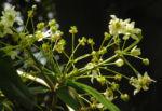 Canelo Baum Bluete weiss Drimys winteri 09