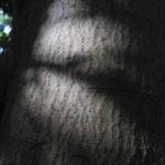 Canelo Baum Rinde braun Drimys winteri 02