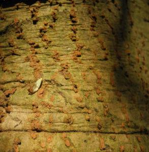 Canelo Baum Rinde braun Drimys winteri 03