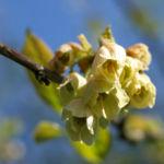 Carolina Maigloeckchen Baum Bluete hellgelb Halesia carolina 04
