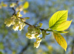 Carolina Maigloeckchen Baum Bluete hellgelb Halesia carolina 05