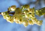 Carolina Maigloeckchen Baum Bluete hellgelb Halesia carolina 06