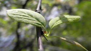 Carolina Maigloeckchenbaum Blatt gruen Halesia carolina 01