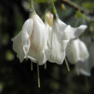 Carolina Maigloeckchenbaum Bluete weiß Halesia carolina 09