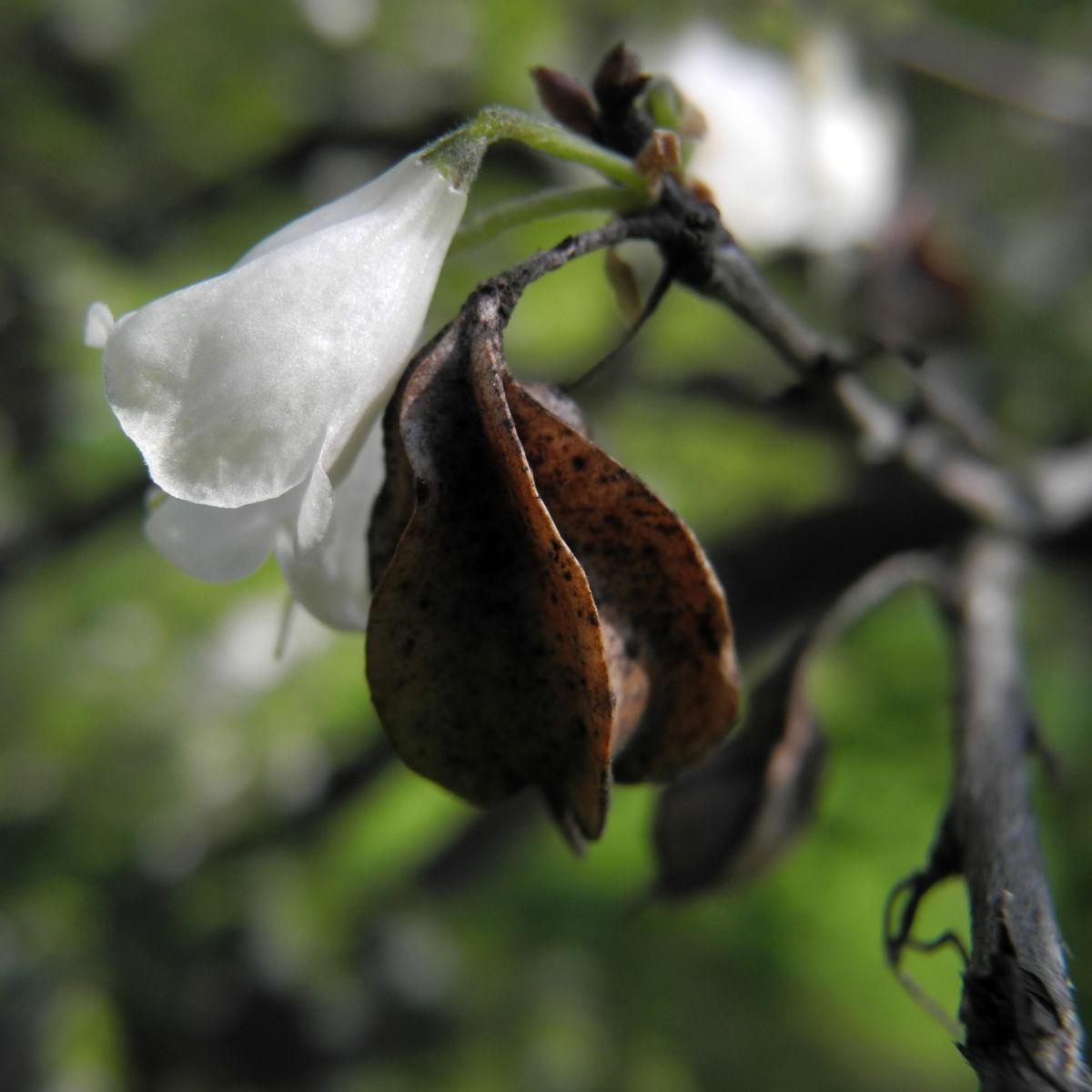Carolina Maigloeckchenbaum Frucht braun Halesia carolina