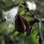 Carolina Maigloeckchenbaum Frucht braun Halesia carolina 01