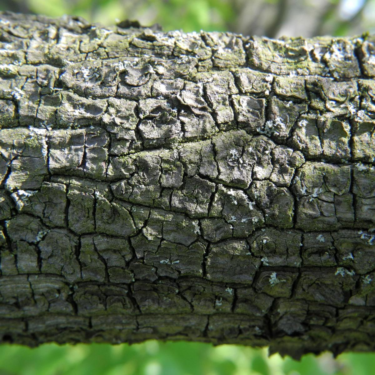 Carolina Maigloeckchenbaum Rinde grau Halesia carolina