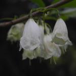 Carolina Schneegloeckchenbaum Bluete weiss Halesia carolina 15