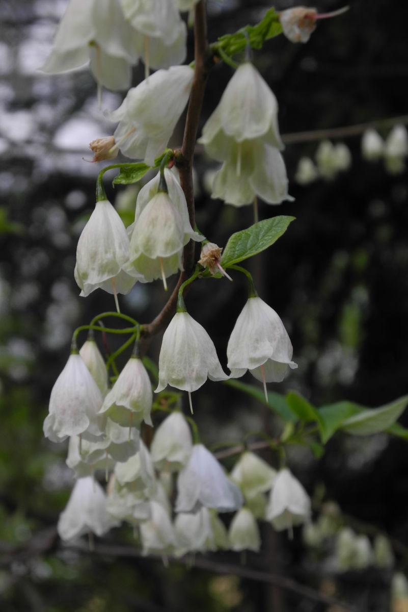 Carolina Schneegloeckchenbaum Bluete weiss Halesia carolina