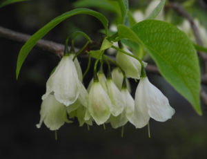 Carolina Schneegloeckchenbaum Bluete weiss Halesia carolina 20
