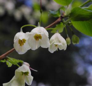 Carolina Schneegloeckchenbaum Bluete weiss Halesia carolina 24