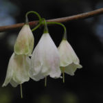 Bild:  Carolina Schneeglöckchenbaum Blüte weiß Halesia carolina