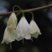 Zurück zum kompletten Bilderset Carolina Schneeglöckchenbaum Blüte weiß Halesia carolina