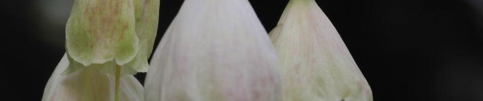Anklicken um das ganze Bild zu sehen Carolina Schneeglöckchenbaum Blüte weiß Halesia carolina