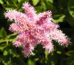 Bild: Chinesische Astilbe Blüte hell pink Astilbe chinensis