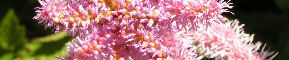 chinesische-astilbe-bluete-hell-pink-astilbe-chinensis