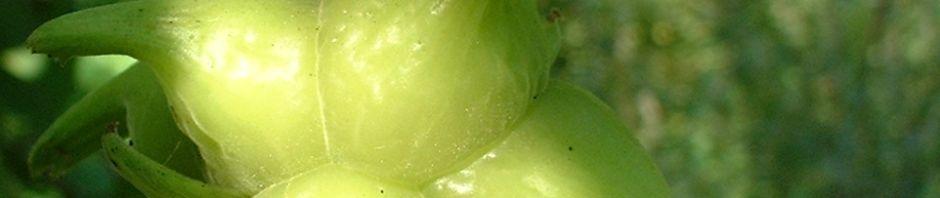 chinesische-haselnuss-frucht-gruen-corylus-chinensis