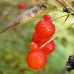 Chinesische Heckenkirche Frucht rot Lonicera atsiensis 03