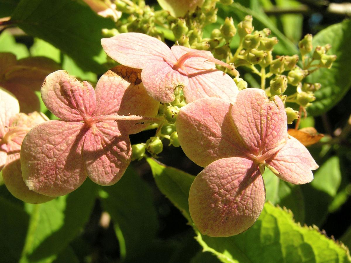 Chinesische Hortensie Bluete pink Hydrangea heteromalla