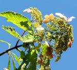 Chinesische Hortensie Bluete pink Hydrangea heteromalla 03
