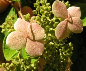 Chinesische Hortensie Bluete pink Hydrangea heteromalla 04