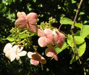 Chinesische Hortensie Bluete pink Hydrangea heteromalla 05