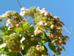 Chinesische Hortensie Bluete pink Hydrangea heteromalla 06
