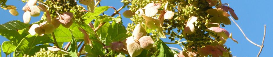 chinesische-hortensie-bluete-pink-hydrangea-heteromalla