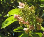 Chinesische Hortensie Bluete pink Hydrangea heteromalla 07