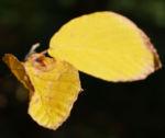 Chinesische Scheinhasel Frucht Blatt gelb Corylopsis sinensis 02