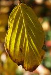 Chinesische Scheinhasel Frucht Blatt gelb Corylopsis sinensis 04