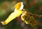 Chinesische Scheinhasel Frucht Blatt gelb Corylopsis sinensis 07