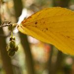 Chinesische Scheinhasel Frucht Blatt gelb Corylopsis sinensis 08