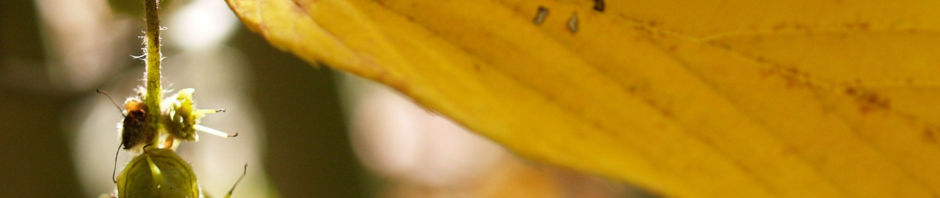 chinesische-scheinhasel-frucht-blatt-gelb-corylopsis-sinensis