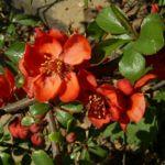 Bild: Chinesische Scheinquitte Blüte rot Chaenomeles speciosa