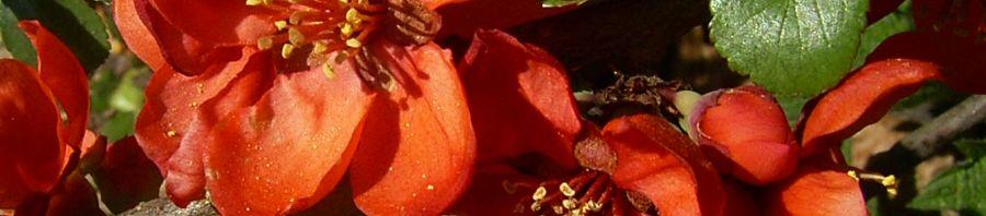 Anklicken um das ganze Bild zu sehen Chinesische Scheinquitte Blüte rot Chaenomeles speciosa