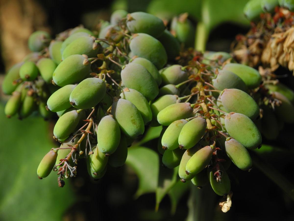 Chinesische Schmuckmahonie Frucht gruen Mahonia bealii