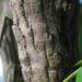 Zurück zum kompletten Bilderset Chinesische Schmuckmahonie Frucht Blatt grün Mahonia bealii