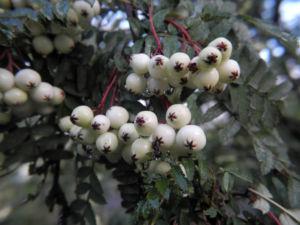 Chinesische Strauch Eberesche Frucht weiß Sorbus frutescens 01