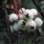 Chinesische Strauch Eberesche Frucht weiß Sorbus frutescens 02