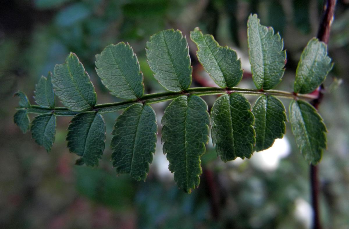 Chinesische Strauch Eberesche Frucht weiß Sorbus frutescens