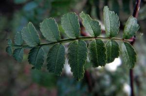 Chinesische Strauch Eberesche Frucht weiß Sorbus frutescens 05