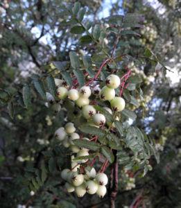 Chinesische Strauch Eberesche Frucht weiß Sorbus frutescens 09