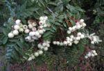 Chinesische Strauch Eberesche Frucht weiß Sorbus frutescens 11