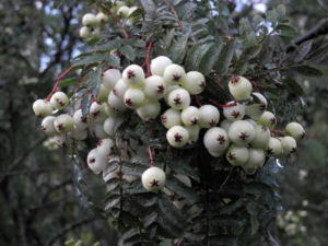 Chinesische Strauch Eberesche Frucht weiß Sorbus frutescens 12